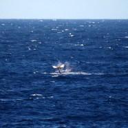 ハワイ島にクジラの季節がやってきました!(2011.12.09 ハワイ島ツアー:キラウエア・アドベンチャー)