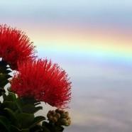 ハワイ島BIG-JINギャラリー:虹の中に咲くレフア