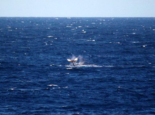 ハワイ島に冬をお知らせするクジラがやってきました。
