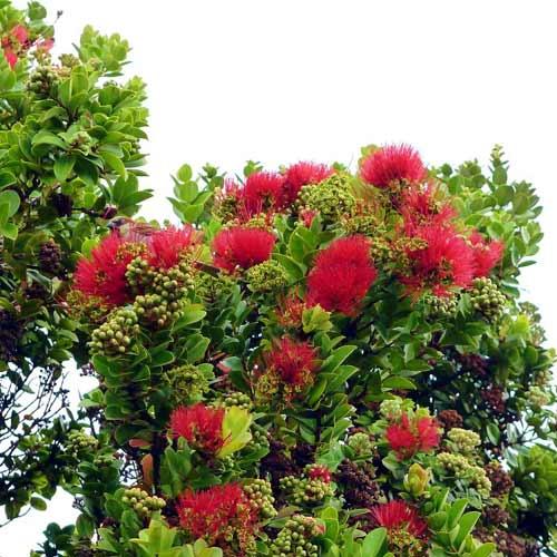 ハワイの固有種「オヒア・レフア」