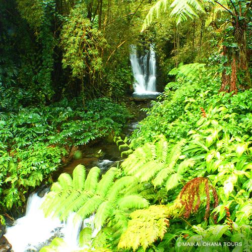 マイナスイオン溢れるハワイ島原生林を歩きます